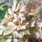Aquilegia viridiflora -Akeleje Chocolate Soldier - frø