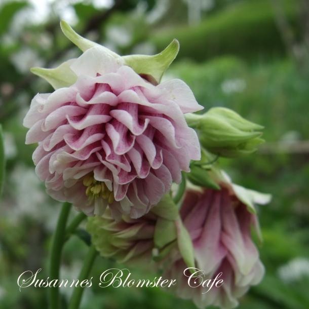 Aquilegia vulgaris 'Tower Light Pink' - Frø