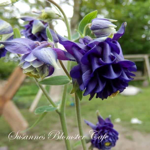 Aquilegia vulgaris vervaeneana Variegata 'Woodside Blue' - frø