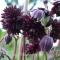 Aquilegia vulgaris 'Black Barlow' - frø