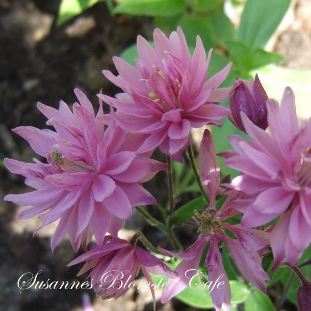 Aquilegia vulgaris - 'Clementine Rose' - frø