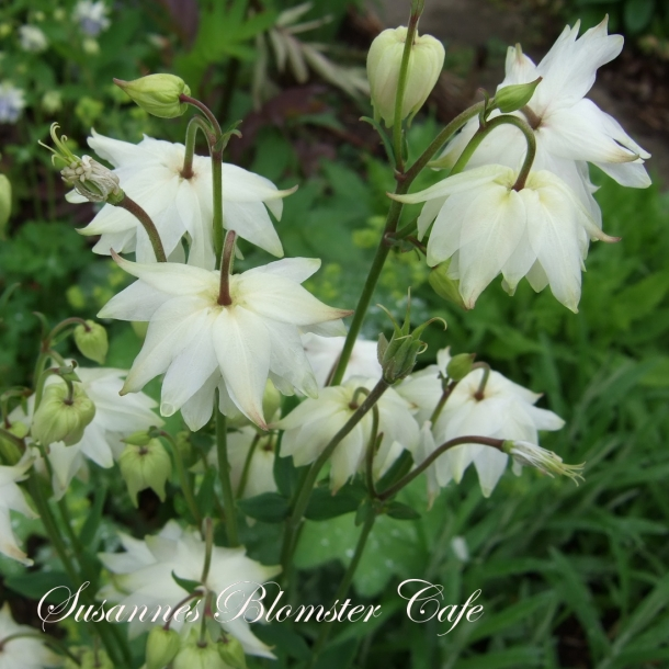 Aquilegia vulgaris 'Green Apples' - frø