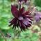 Aquilegia vulgaris 'Miss M.I. Huish' - frø