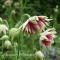 Aquilegia vulgaris - Nora Barlow - frø