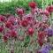 Aquilegia vulgaris 'Ruby Port' - frø