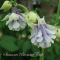 Aquilegia vulgaris 'Tower Light Blue' - frø