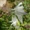 Aquilegia - White Swan - frø