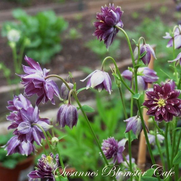 Aquilegia vulgaris - Christa Barlow - frø