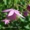 Semiaquilegia ecalcarata - Sugar Plum Fairy - frø