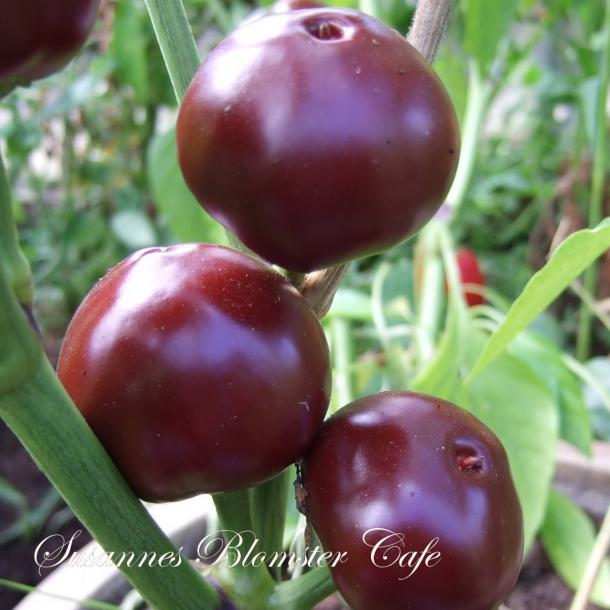 Chili Chocolate Cherry - frø