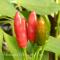 Chili Pepperonsino - frø