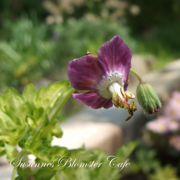 Geranium phaeum 'Conny Broe' - frø