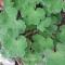Geranium renardii - frø