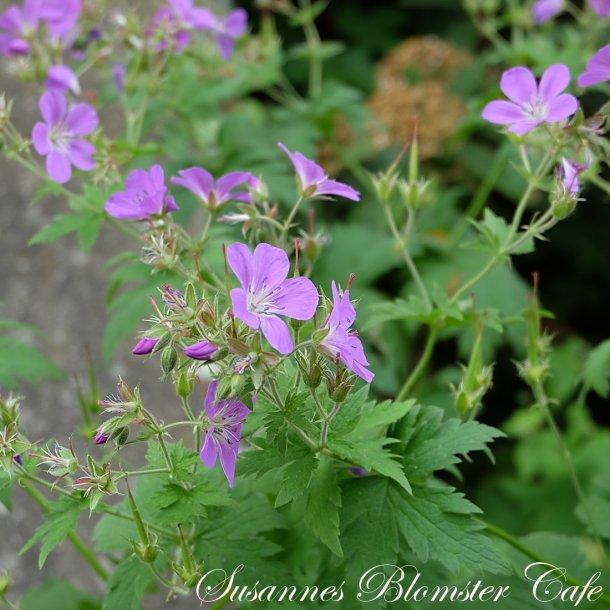 Geranium sylvaticum Lilac