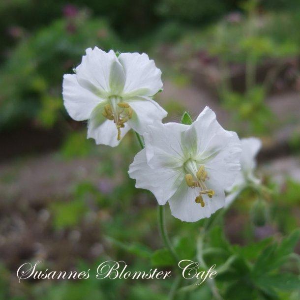 Geranium phaeum 'Album' - frø