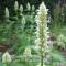 Agastache foeniculum Album - hvid Anisisop - frø
