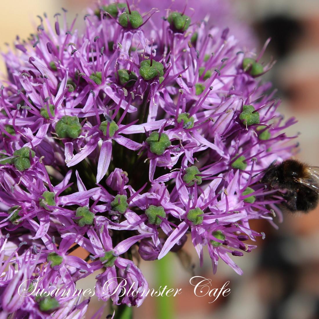 Allium frø