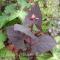 Atriplex hortensis rubra - Rød Havemælde - frø