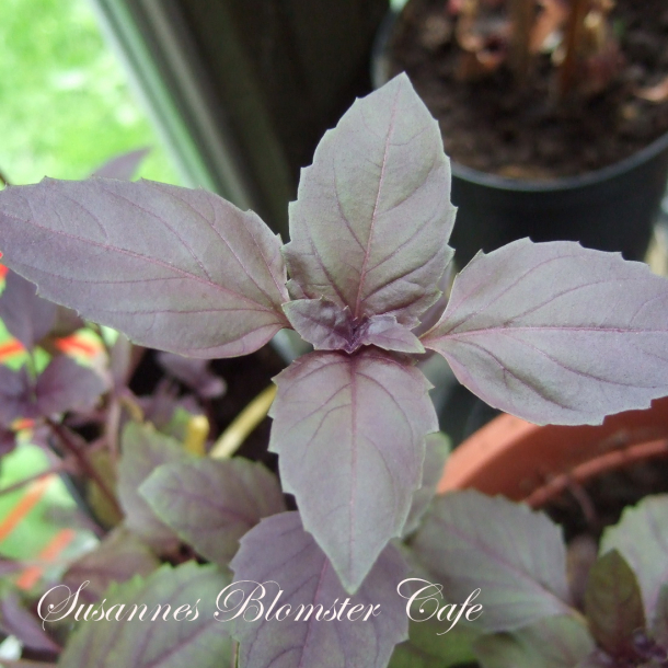 Basilicum - ocimum Basilikum 'Dark Opal'- rød - frø