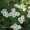 Chrysantemum parthenium - Matrem - frø