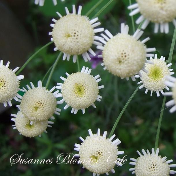 Chrysantemum parthenium 'Plena' - Matrem m. fyldte blomster - frø