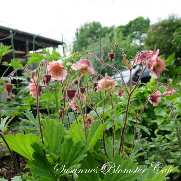 Geum rivale - Pink Frill - plante