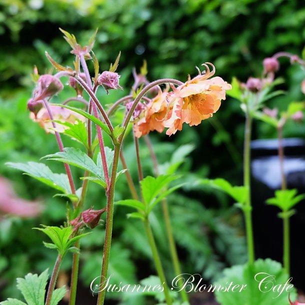 Geum hybrida - Mai Tai - plante
