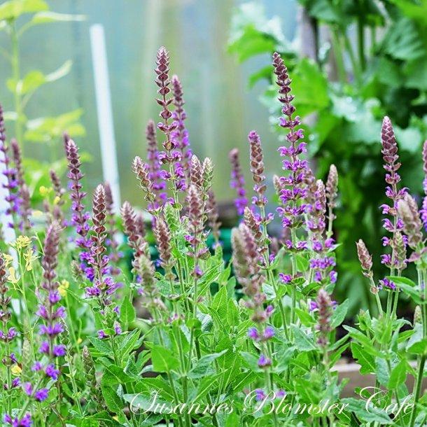 Salvia nemerosa - Lilac - Plante