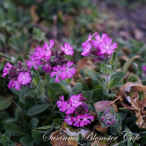 Silene dioica - Dag Pragtstjerne - Plante