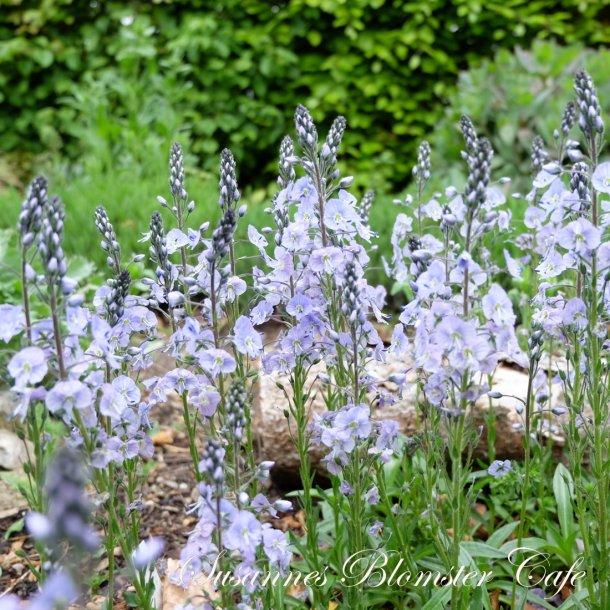 Veronica gentianoides - Porcelænsærenpris - Plante