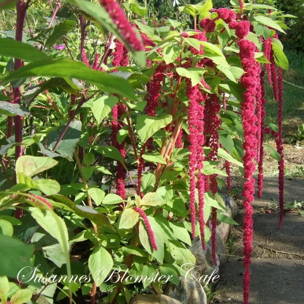 Amaranthus caudatus. Red Tails - frø