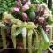 Amaranthus caudatus Green Tails - frø