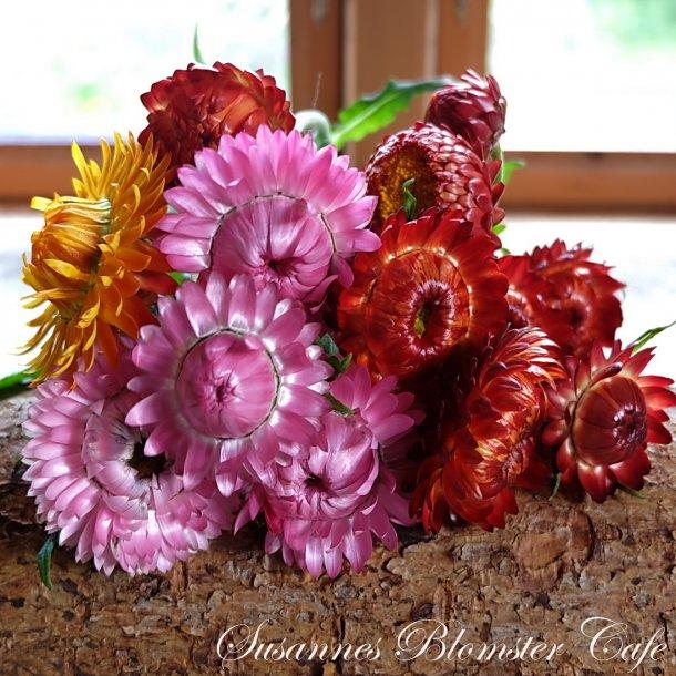 Helichrysum - King Size-  MIX - Evighedsblomst - frø