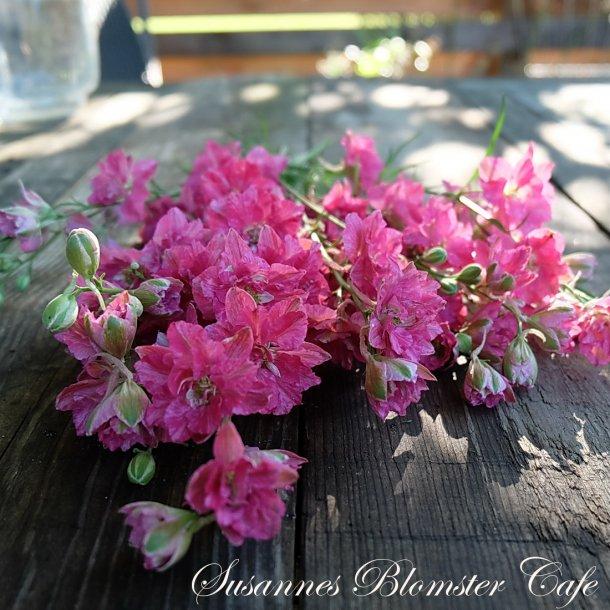 Larkspur Limelight Carmine - Sommer Ridderspore - frø