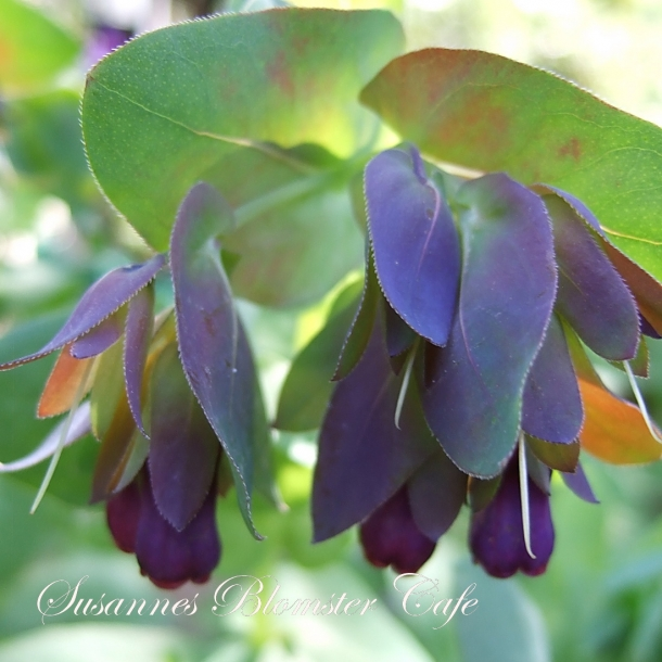 Cerinthe major purpurascens 'Kiwi blue' - Stor Voksblomst - frø