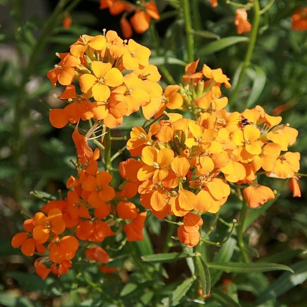 Cheiranthus Allionii Orange - Gyldenlak -frø