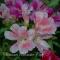 Clarkia amoena - Silkeskørt - frø