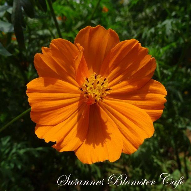 Cosmos sulphureus -  Cosmic Orange