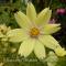 Cosmos bipinnatus - 'Xantos' - Stolt kavaler- frø