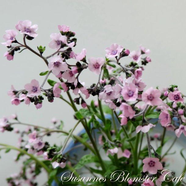 Cynoglossum Mystery Rose - Kinesisk forglemmigej - frø