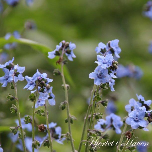 Cynoglossum Blue - Kinesisk forglemmigej - frø