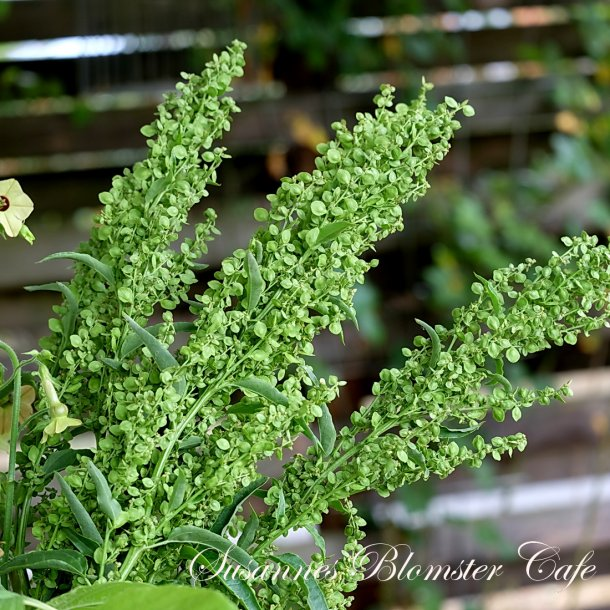 Atriplex hortensis Green - Grøn Havemælde - frø