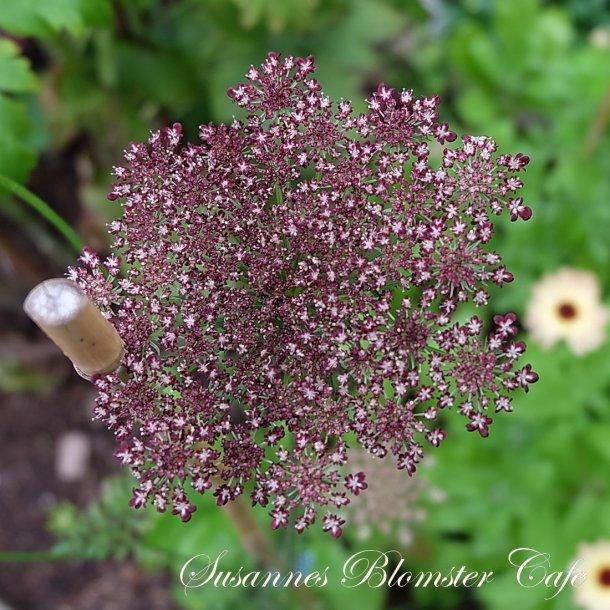Daucus Carota Dara - Gulerods blomst - frø