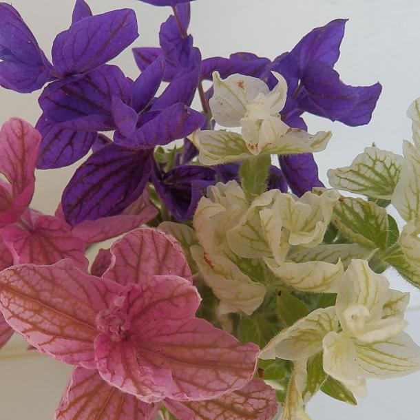 Salvia viridis - MIX - dusksalvie - frø