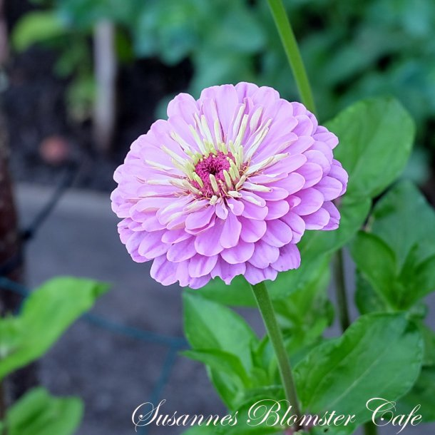 Zinnia Benary's Giant Lilac - frø