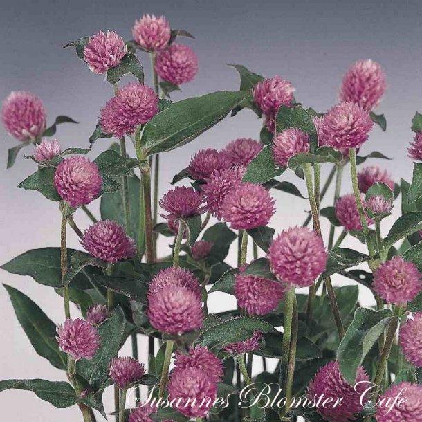 Kugleamarant - gomphrena Lilac - frø
