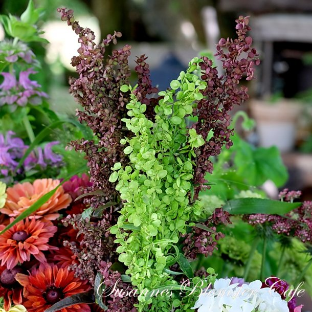 Atriplex hortensis MIX - Rød og Grøn Havemælde - frø