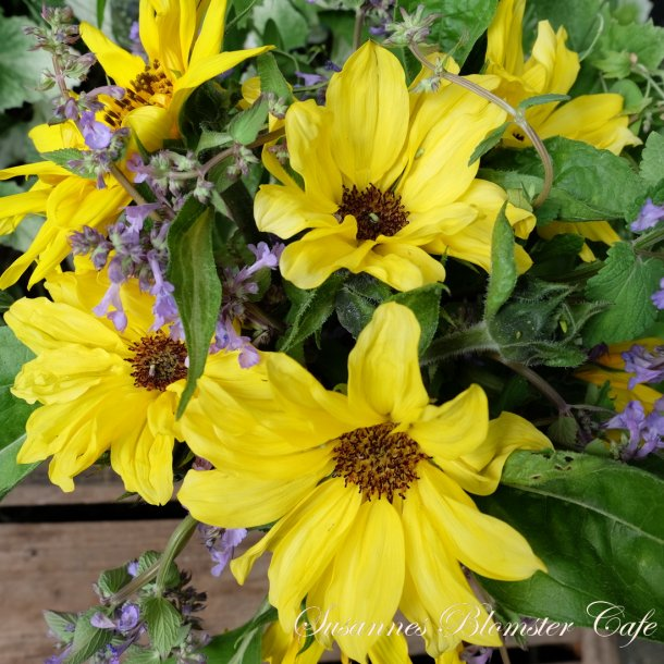 Helianthus Vincents Choice Pomelo