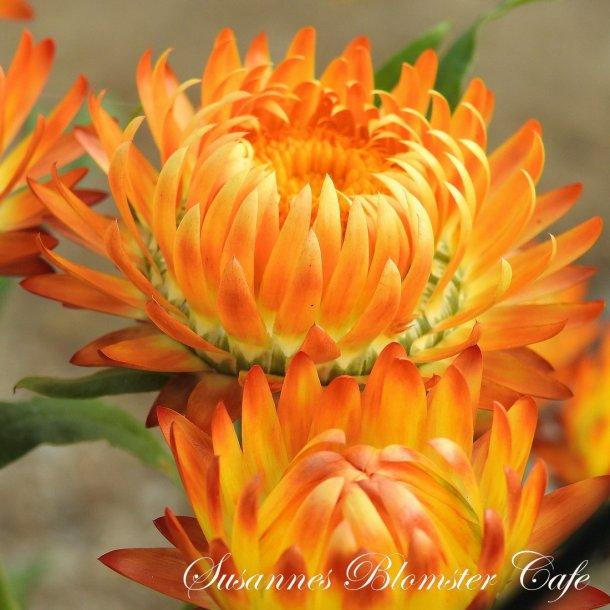 Helichrysum bracteatum  - Orange - Evighedsblomst - frø