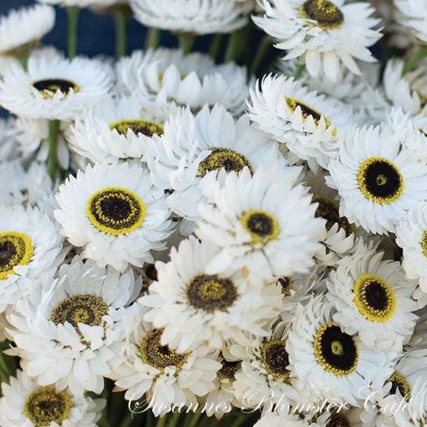 Helipterum roseum - Pierrot White - frø